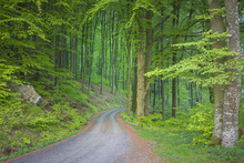 Canvas print - Beech Forest Road