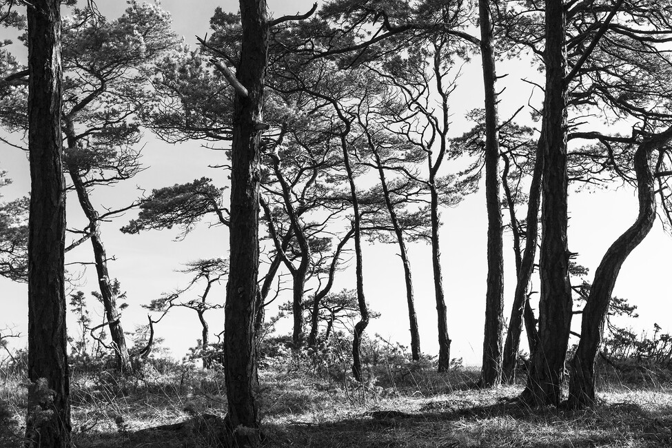 Black pine forest black and white wall mural photo for Black and white forest wall mural