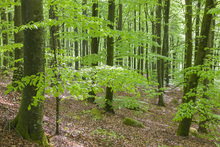 Wall mural - Green Beech Forest