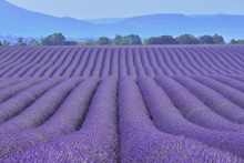 Wall mural - Gorgeous Lavender