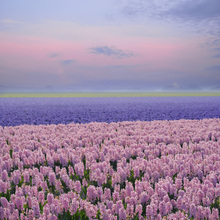 Canvastavla - Pink Hyacinth
