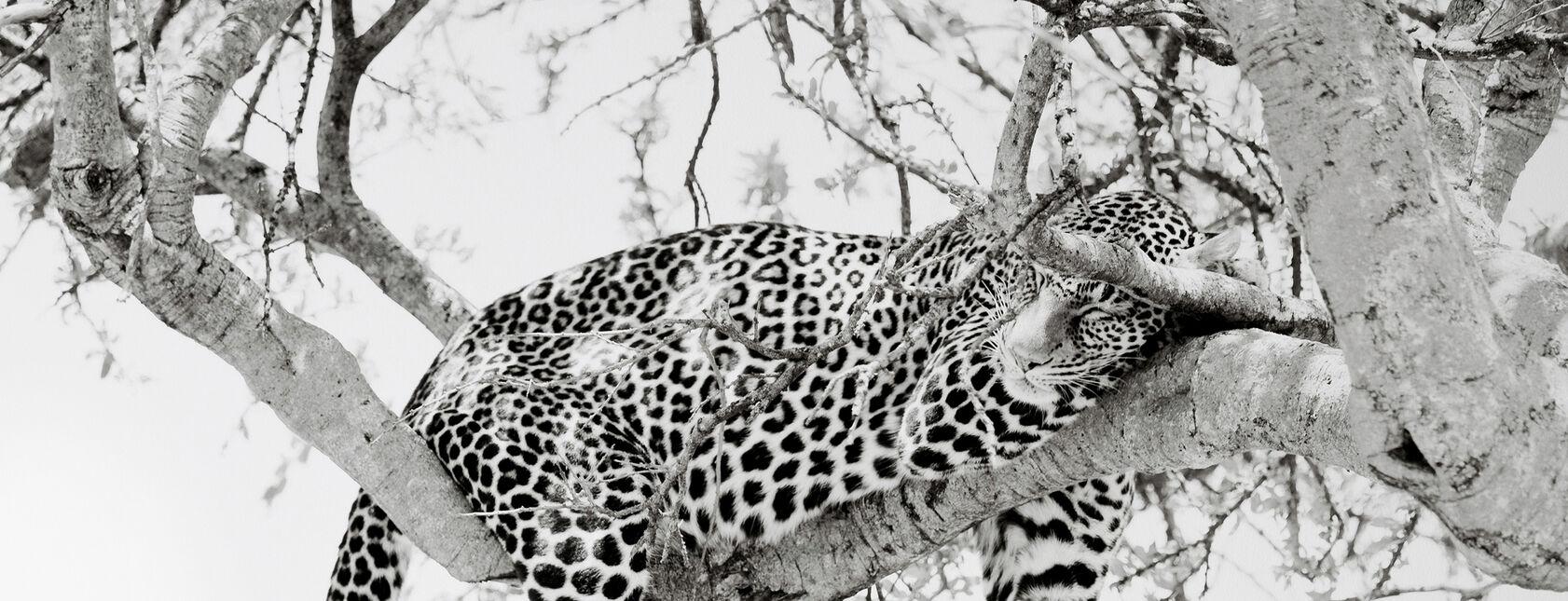 Lejon & stora Kattdjur