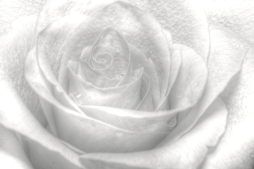 High Key Rose Fototapeter & Tapeter 100 x 100 cm
