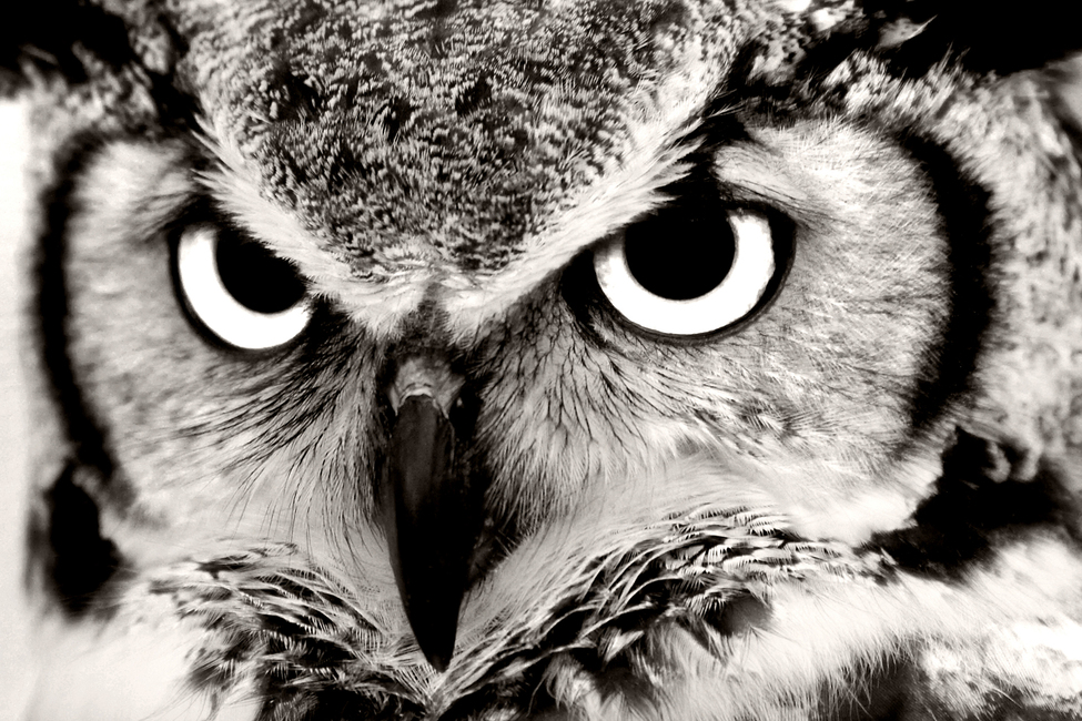 Great Horned Owl Wall Mural Amp Photo Wallpaper Photowall