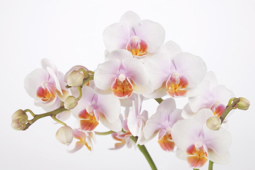 Soft Orchidee - Canvas Print & Photos - Photowall