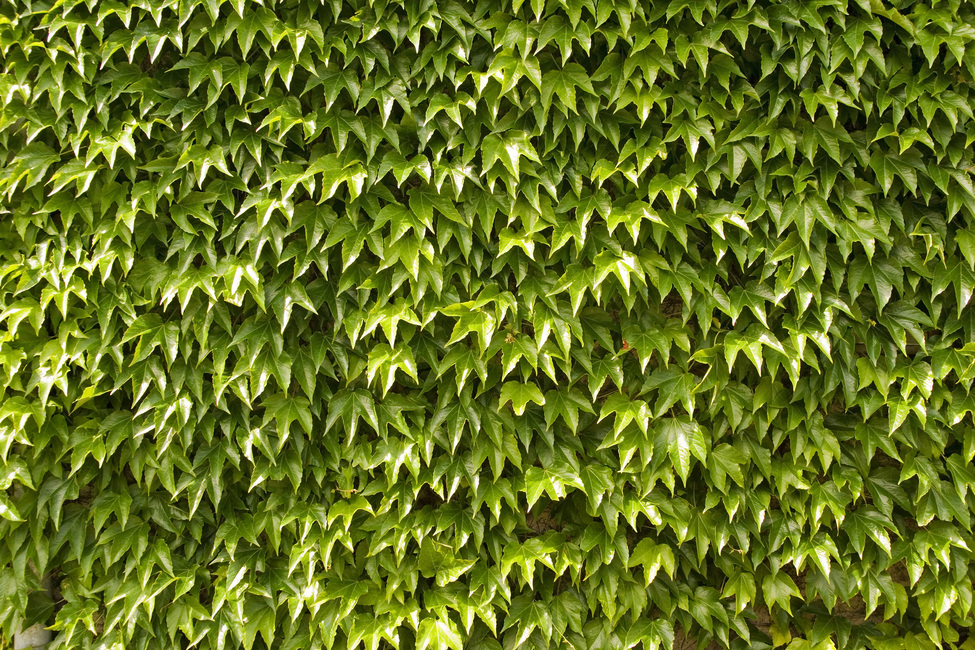Green Wall of Ivy Leaves Fototapeter & Tapeter 100 x 100 cm