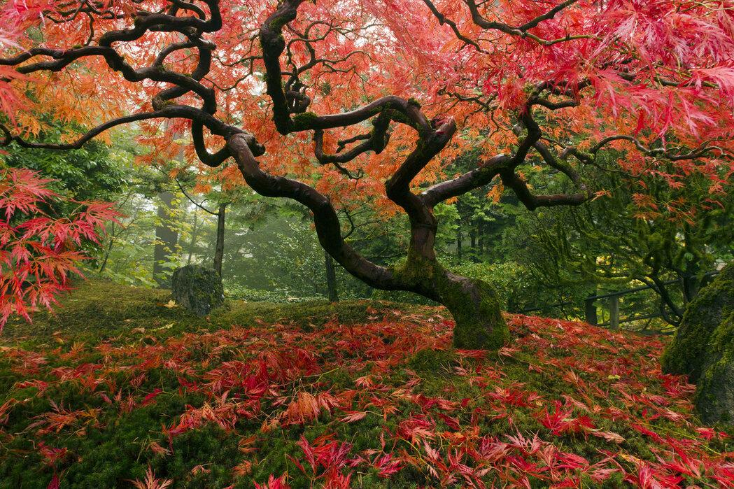 Japanese Maple Tree Trendy Wall Mural Photowall