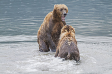 Fototapet - Two Bears in the Lake