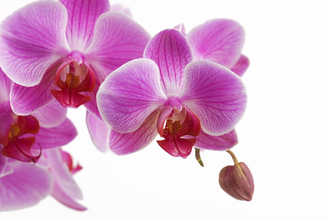 Deep Pink Orchid Popular Wall Mural Photowall
