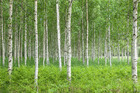 Valokuvatapetti - Summer Birch Forest