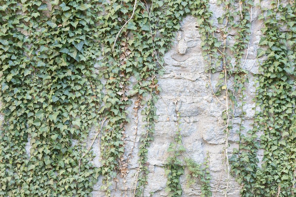 Ivy Wall Fototapeter & Tapeter 100 x 100 cm