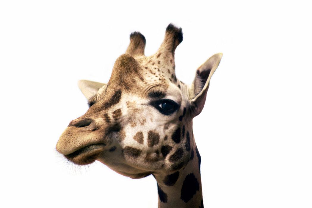 Portrait Of A Giraffe Affordable Wall Mural Photowall