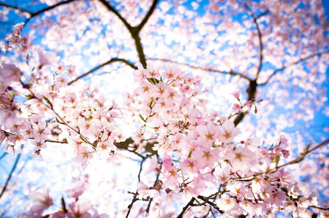 Weeping Cherry Tree Fotobehang Online Photowall