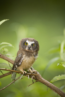Fototapet - Northern Saw-whet Owl