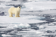 Fototapet - Polar Bear on Sea Ice