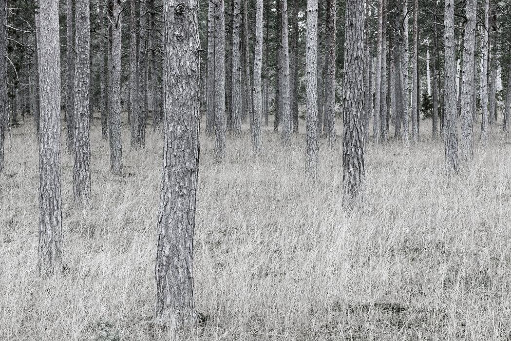 pine trunks fototapete nach ma photowall. Black Bedroom Furniture Sets. Home Design Ideas