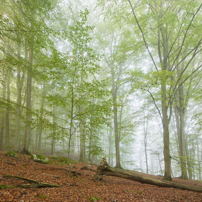 Swedish Beech Forest III Fototapeter & Tapeter 100 x 100 cm
