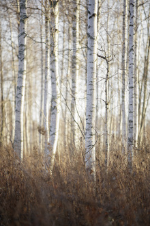 Fototapet - Birch Forest in Dalarna, Sweden, Europe