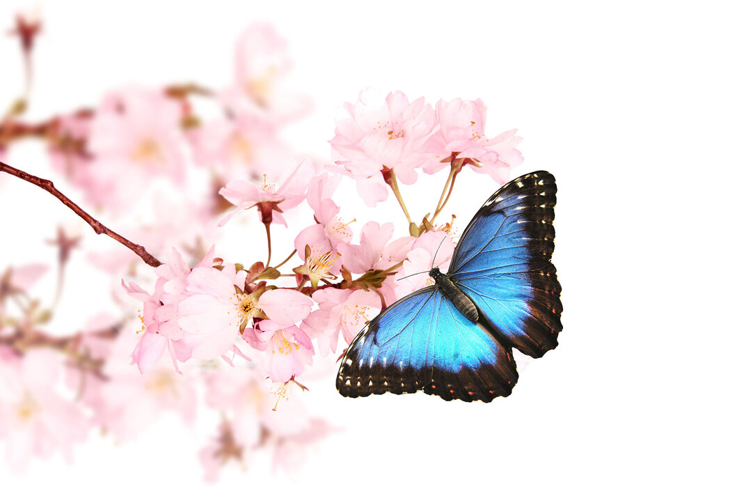 d13deff4c Butterfly Cherry Blossoms – style with a canvas print – Photowall