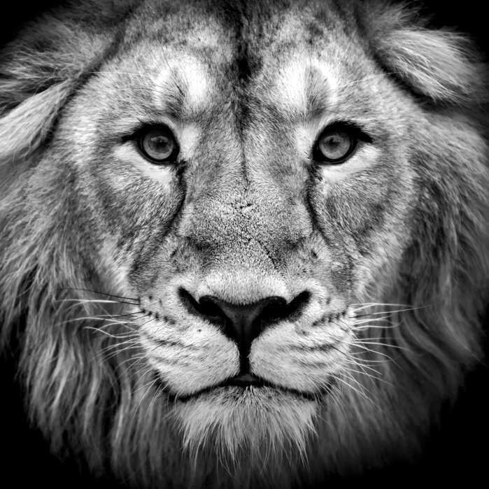 Wise Lion Black And White High Quality Wall Murals With Free Us Delivery Photowall