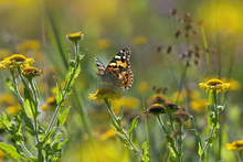 Fototapet - Painted Lady Butterfly