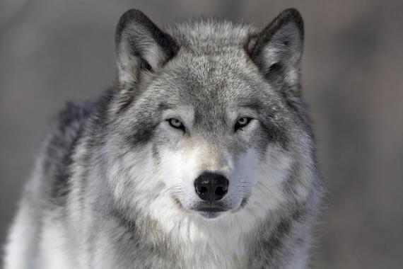 Stor Dyr – store bilder lerret – Photowall KR-79