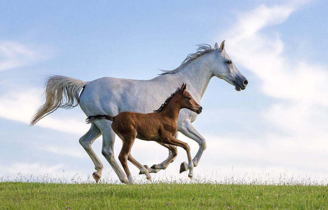 Purebred Arabian Horse Galloping – high-quality wall ... - photo#21