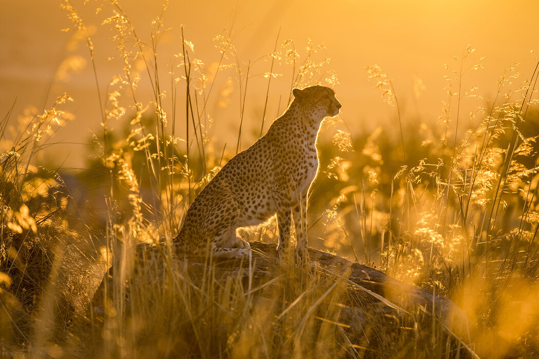 South African Cheetah At Sunset Decorate With A Wall Mural