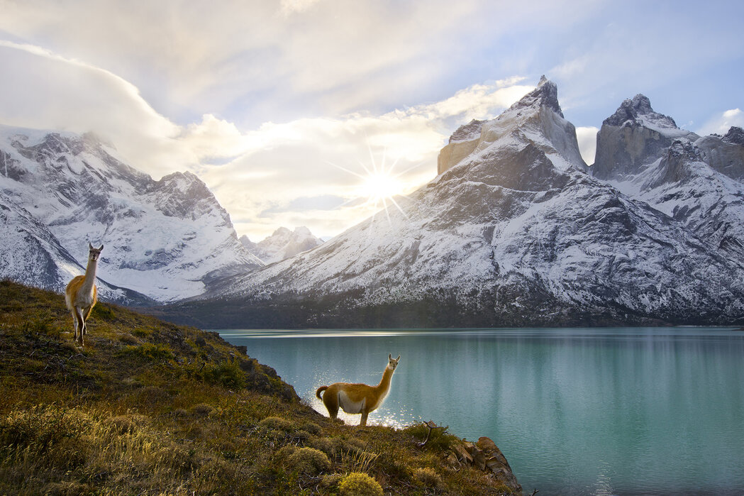 Two Guanacos At Edge Of Lake Torres Del Paine National Park