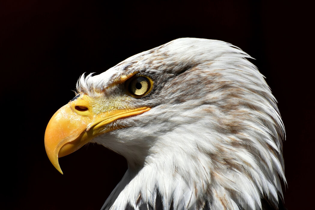 Bald Eagle High Quality Wall Murals With Free Delivery