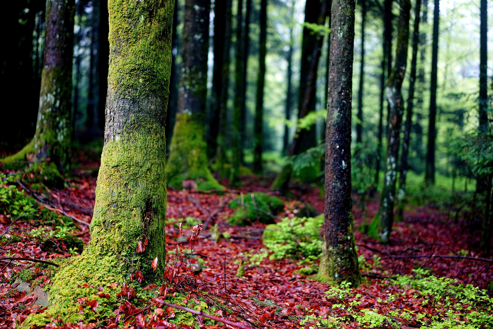 Kuva Moss in Trees Tapetit / tapetti 100 x 100 cm