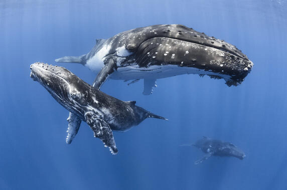 humpback whale facts - 572×380