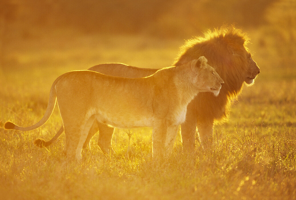 Male and Female Lion – high-quality wall murals with free UK
