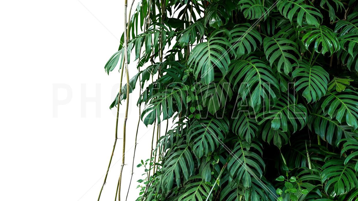 Monstera Tropical Plant Wall Murals Online Photowall